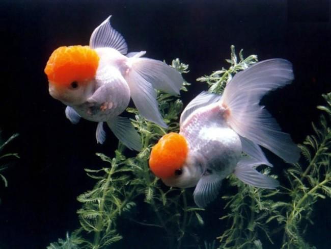 рыбки оранды плавают в аквариуме на фоне растений