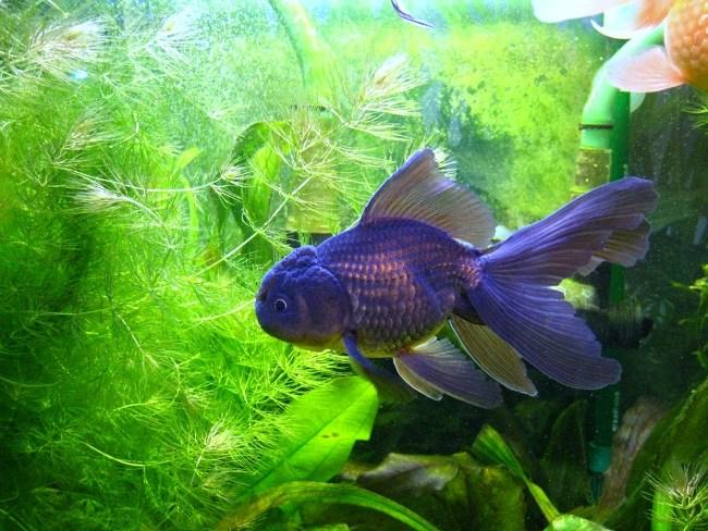 синяя оранда плавает в аквариуме на фоне растений