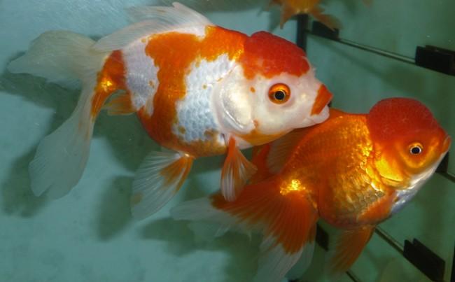 золотые рыбки оранды