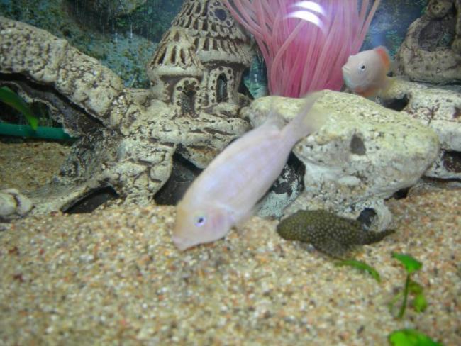 аквариум с рыбками фламинго