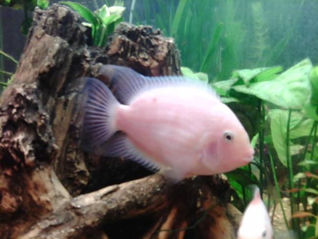 рыбка фламинго в аквариуме на фоне коряги и растений