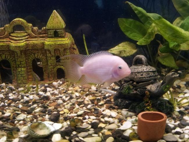 фламинго плавает в аквариуме