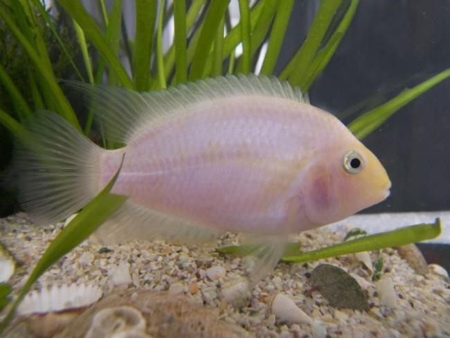 рыбка фламинго плавает у дна аквариума
