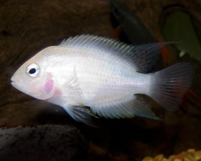 рыбка фламинго плавает в аквариуме