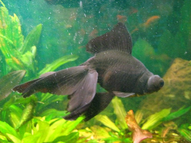рыбка телескоп черного окраса в аквариуме на фоне растений