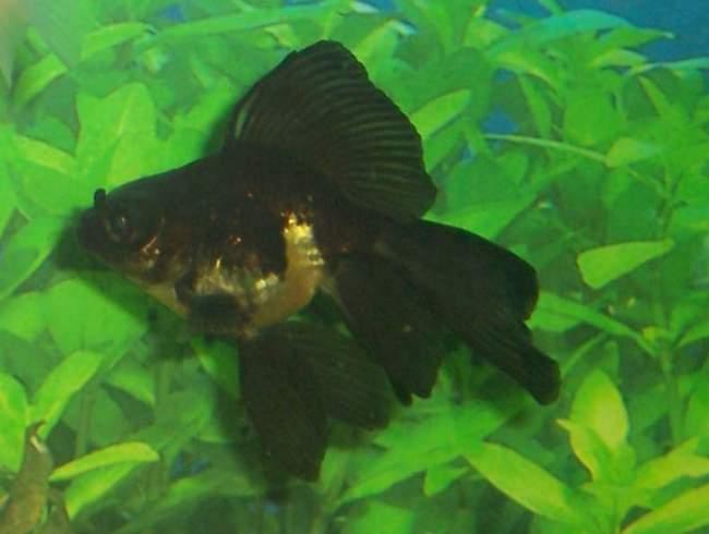 золотая рыбка телескоп черного окраса на фоне растений в аквариуме