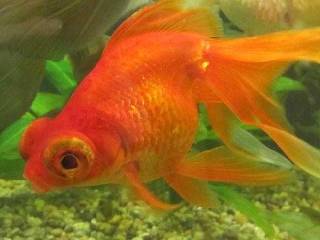 красно-золотая рыбка телескоп