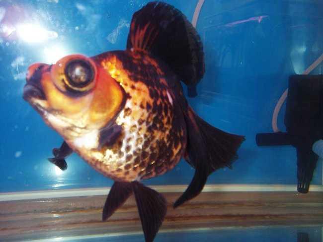 рыбка телескоп с сильно выпуклыми глазами в аквариуме