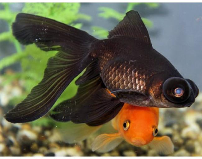 рыбка телескоп черной окраски
