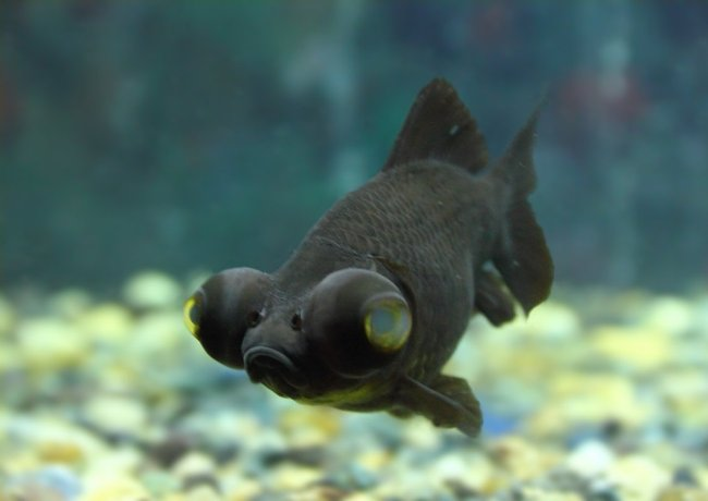 черная рыбка телескоп в аквариуме