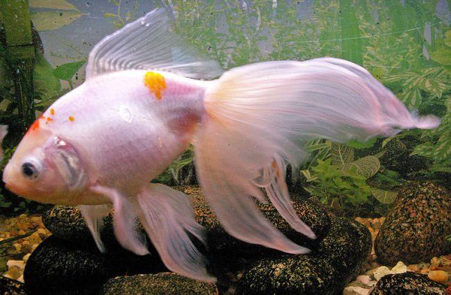 белая рыбка телескоп