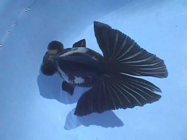 черная рыбка телескоп плавает в аквариуме