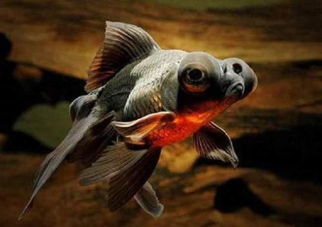 рыбка телескоп черной окраски в аквариуме