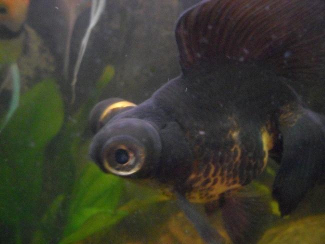 черно-золотая рыбка телескоп