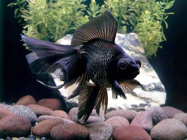 черная рыбка телескоп плавает в аквариуме у камней