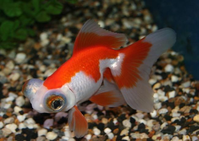 бело-красная рыбка телескоп