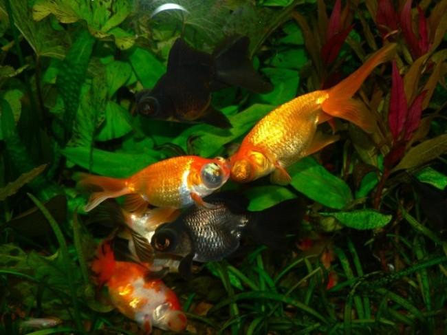 аквариум с рыбками телескопами