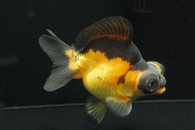 черно-золотая рыбка телескоп в темном аквариуме