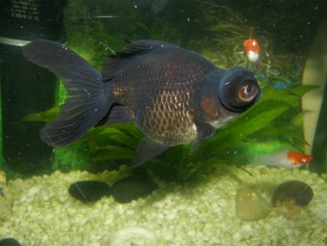 рыбка телескоп черного цвета