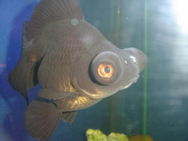 рыбка телескоп черного цвета плавает в аквариуме