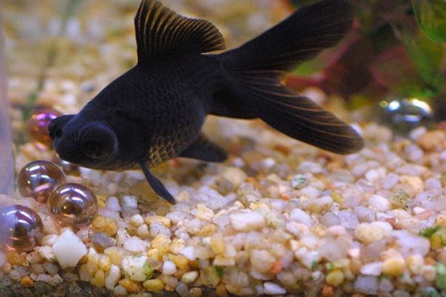 рыбка телескоп черной окраски плавает у дна в аквариуме
