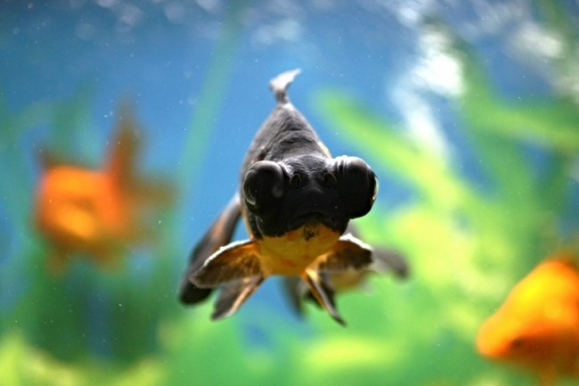 рыбка телескоп с сильно выпуклыми глазами