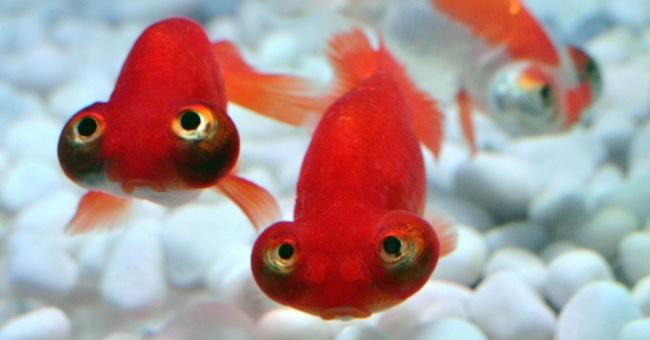 красные рыбки телескопы
