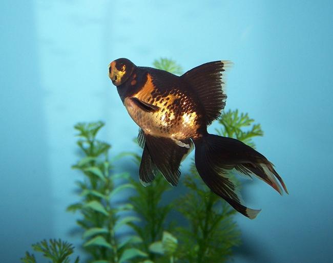 рыбка телескоп черно-золотого цвета