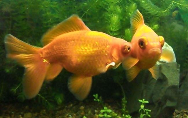 оранжевые рыбки телескопы на фоне растений