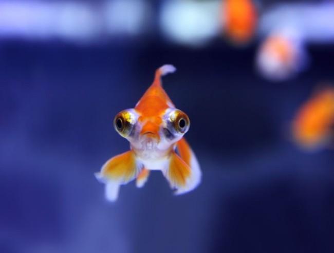 бело-оранжевая рыбка телескоп с сильно выпуклыми глазами