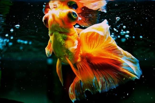 золотая рыбка телескоп в аквариуме