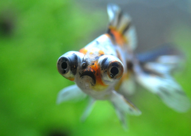 рыбка телескоп ситцевой окраски