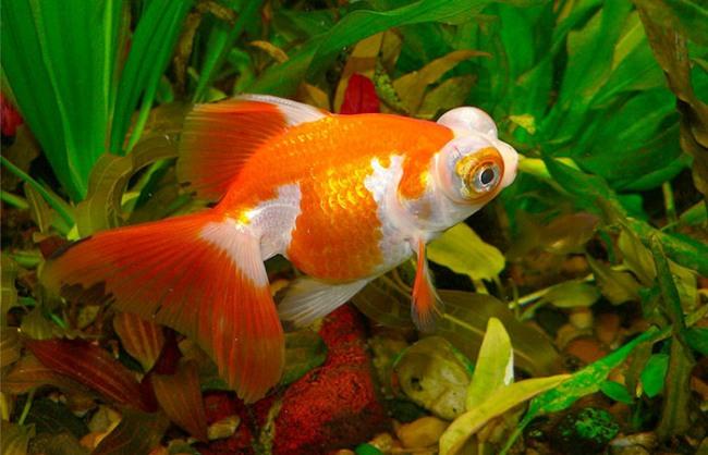 бело-золотая рыбка телескоп в аквариуме