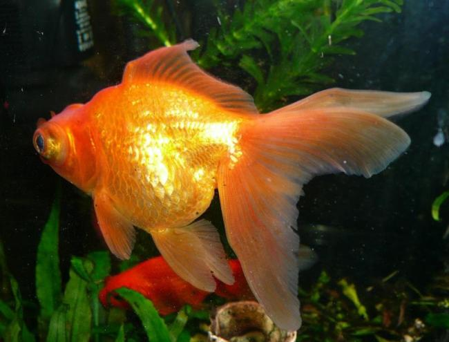 рыбка телескоп золотого цвета