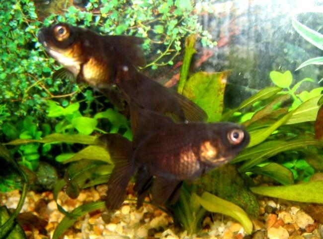 черные рыбки телескопы в аквариуме на фоне растений