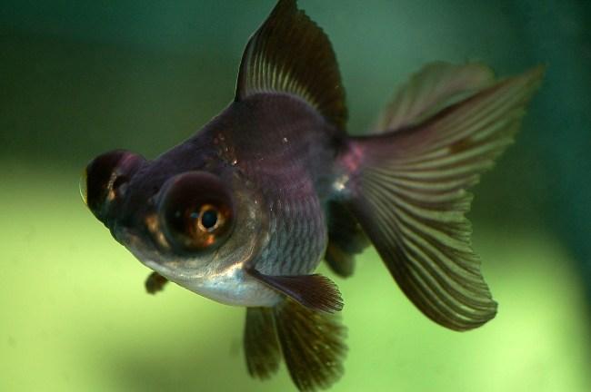 черно-фиолетовая рыбка телескоп
