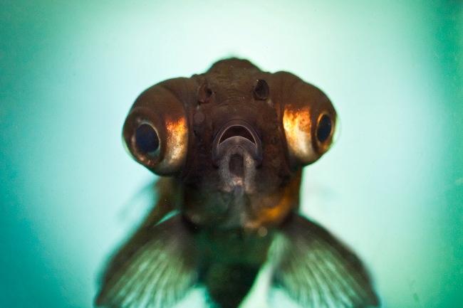 рыбка телескоп черной окраски с сильно выпуклыми глазами