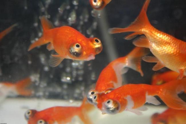 аквариум с красными рыбками телескопами