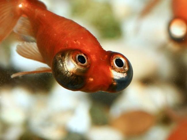 красная рыбка телескоп с сильно выпуклыми глазами