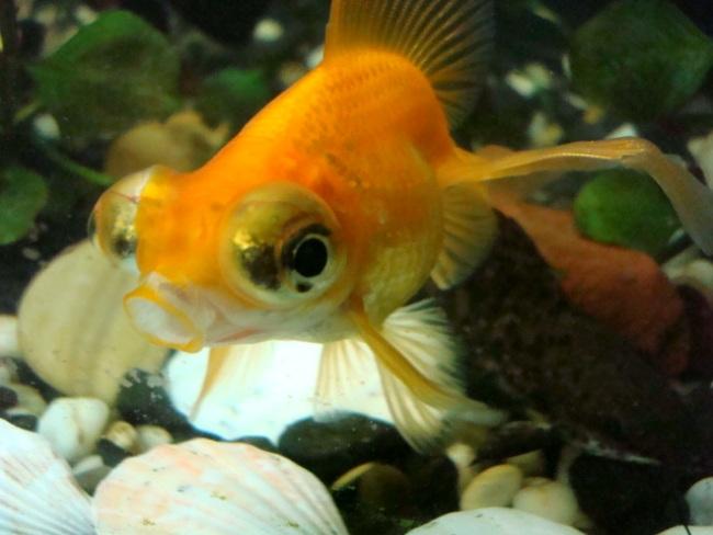 оранжевая рыбка телескоп с сильно выпуклыми глазами в аквариуме