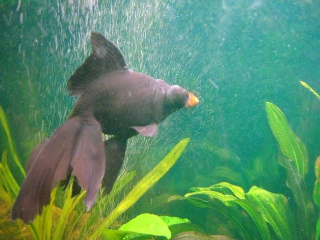 рыбка телескоп черной окраски плавает в аквариуме на фоне растений