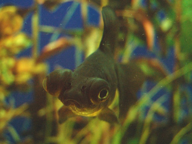 черная рыбка телескоп с сильно выпуклыми глазами