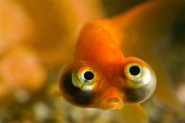 рыбка телескоп оранжевого цвета с сильно выпуклыми глазами
