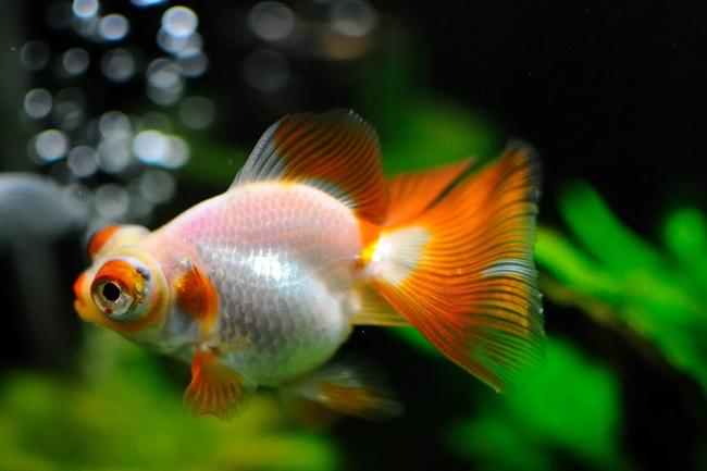 бело-оранжевая рыбка телескоп