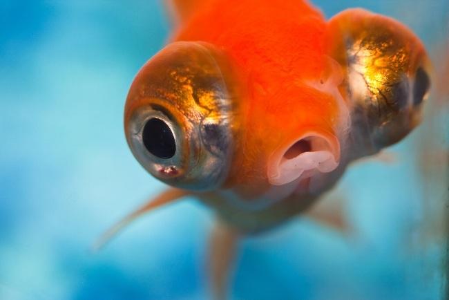 рыбка телескоп с сильно выпуклыми глазами оранжевой окраски