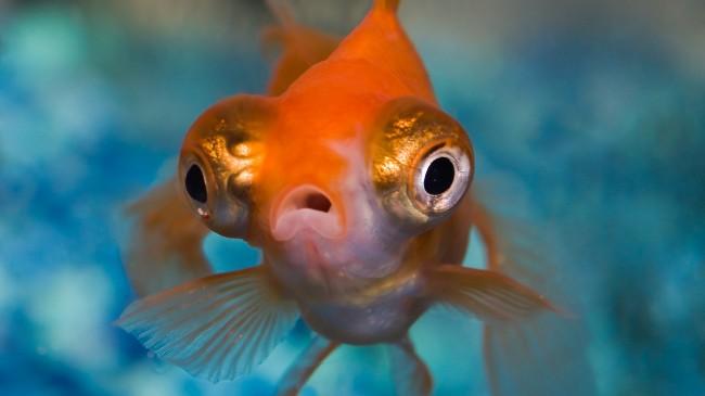 золотая рыбка телескоп с сильно выпуклыми глазами