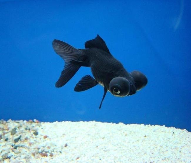 рыбка телескоп черного цвета с сильно выпуклыми глазами