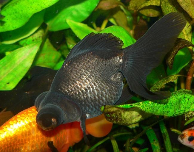 черная рыбка телескоп плавает среди растений