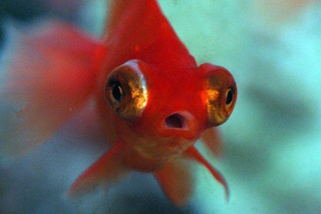 рыбка телескоп красного цвета с сильно выпуклыми глазами