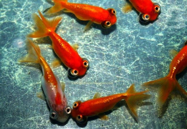 рыбки телескопы красного цвета